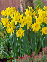 Daffodil Dutch Master Value Pack