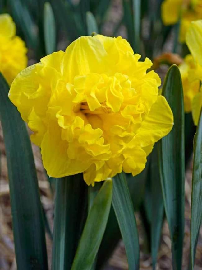 Daffodil Flyer