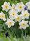 Daffodil Frosty Snow
