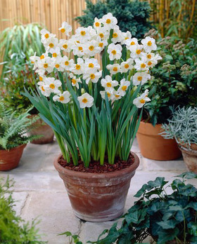 Very fragrant, white with deep orange centers. 10 bulbs