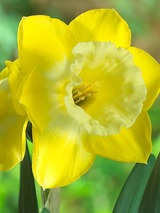 Daffodil Intrigue