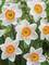 Daffodil Jersey Lace