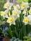 Daffodil Lemon Glow