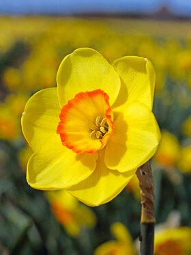 Photo of Daffodil Pacific Rim