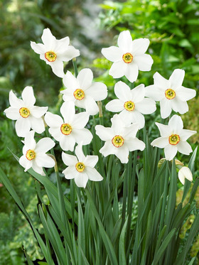 Poeticus Daffodil, pure white petals with a dainty eye. 8 bulbs