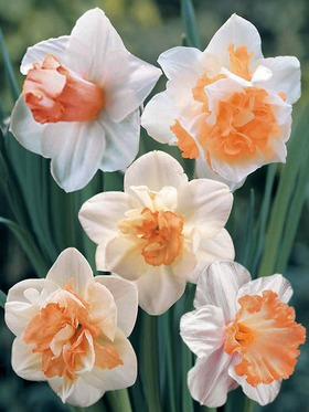 A delightful mix of pink daffodils, 20 bulbs.