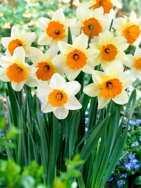 "Snow white with bright orange cup, 14"", 18 bulbs"