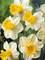 Daffodil Sugar Dipped