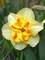 Daffodil Sorbet