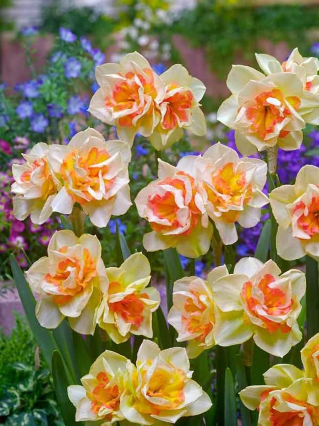 Daffodil Sweet Ocean