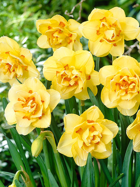 long-lasting speckled tangerine & yellow. 8 bulbs