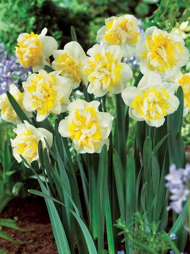 Daffodil Westward