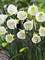Daffodil White Petticoat