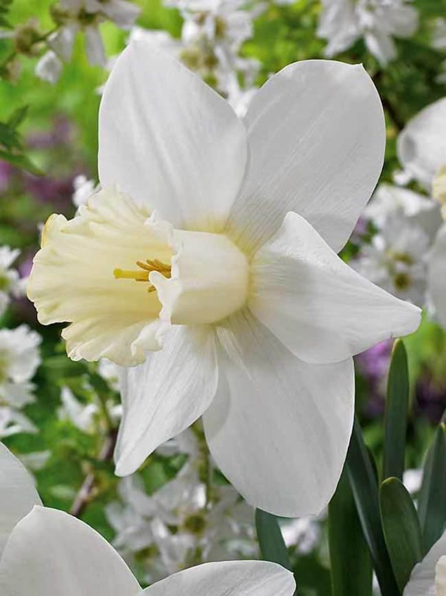 Daffodil Watch Up
