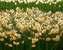 Daffodil Yazz