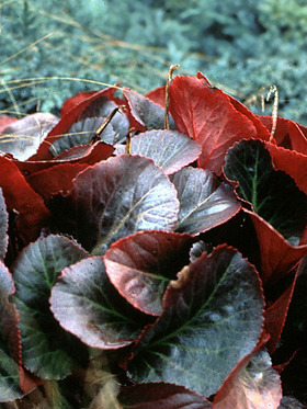 Rosy-red flowers early. Glossy green leaves turn maroon