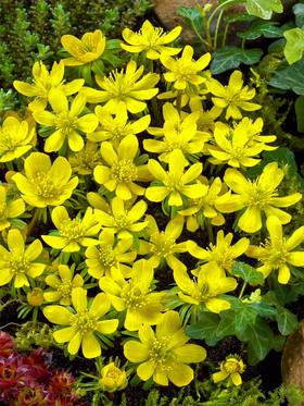 Winter Aconite. Glossy bright yellow buttercups. 15 bulbs