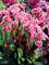 Bergenia Spring Fling