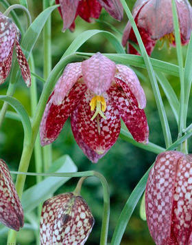 Known as Checkered Lily. Heirloom 1572. 15 bulbs