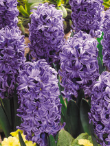 Hyacinth Atlantic