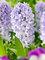 Hyacinth Caribbean Dream