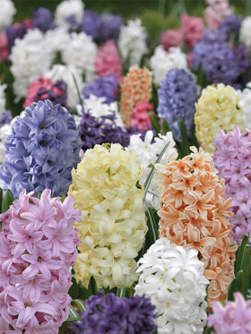 Hyacinths in assorted pastel colors.  9 bulbs