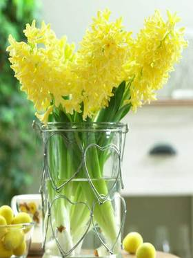 Cheery yellow blooms with a sweet fragrance. 6 bulbs