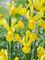 Iris Golden Harvest