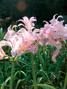 Lovely clear pink lily petals are tinged with lilac. 1 bulb