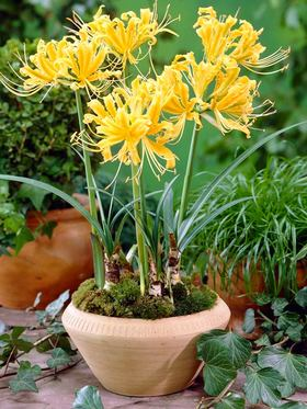 Yellow flowers with recurved petals. 1 bulb
