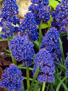 "Long-lasting indigo flowers, hardy, 5"", 15 bulbs per bag"
