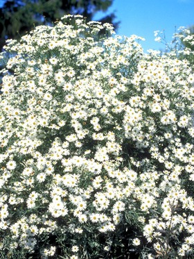 White flowers. Masses of star-like flowers late into the season