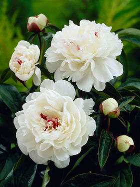 "Frilly creamy white blossoms with red splashes, 18-24"", 1 bulb"