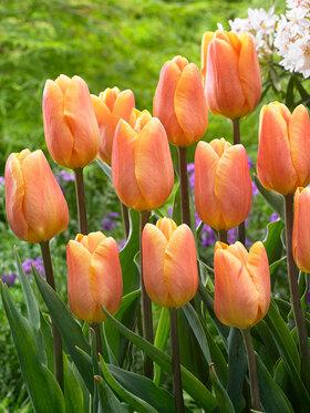 Photo of Tulip Bellville