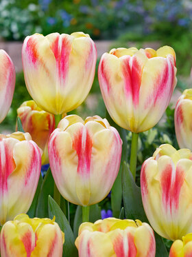 Photo of Tulip Buckingham