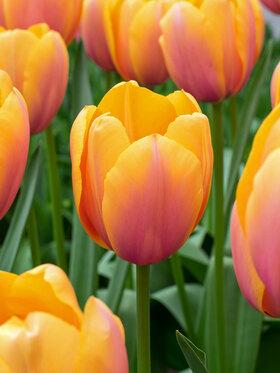 Photo of Tulip Blushing Impression