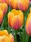 Tulip Blushing Impression