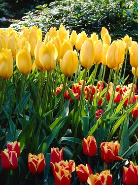 "Huge, cheerful sunny yellow blossoms, 26"", 10 bulbs"