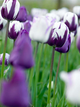 Purple tulips combined with white tulips overlaid with purple flames, 10 bulbs.
