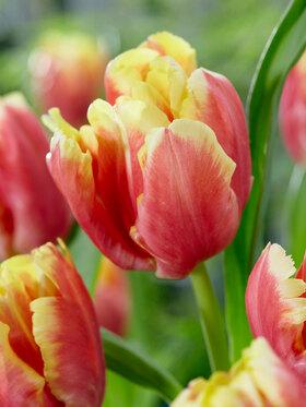 Photo of Tulip Dee Jay Parrot