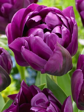 Double blooms saturated in purple hues. 10 bulbs