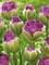 Tulip Exquisit