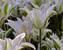 Tulip Greenstar
