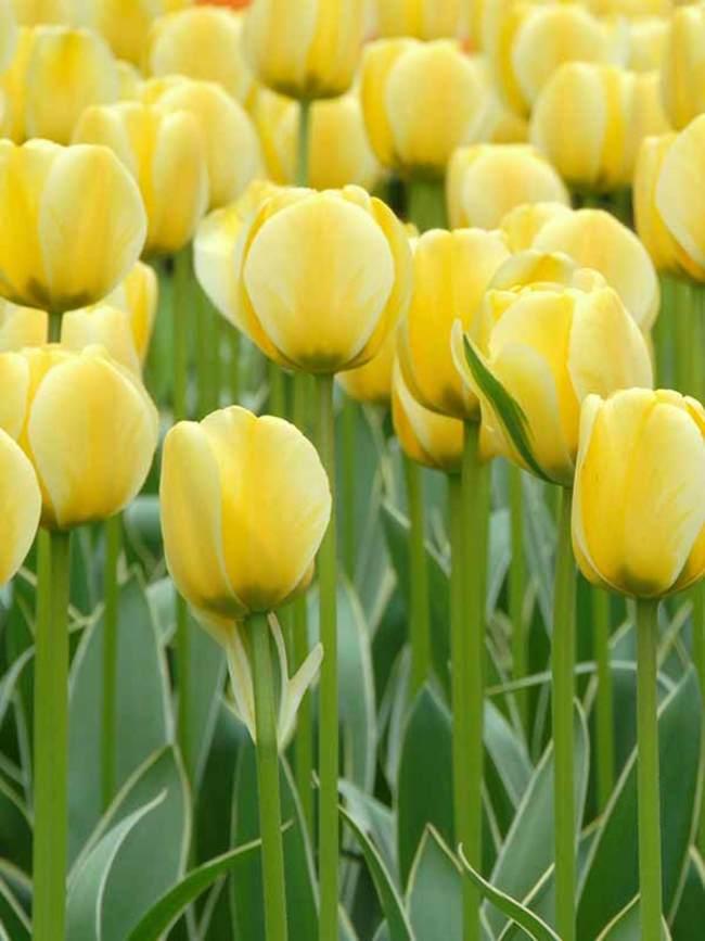 Tulip Jaap Groot