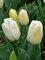 Tulip Diamond Jubilee