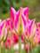 Tulip Love Dance