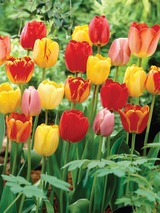 Tulip Darwin Hybrid Mix Value Pack