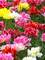 Tulip Murillo Mix