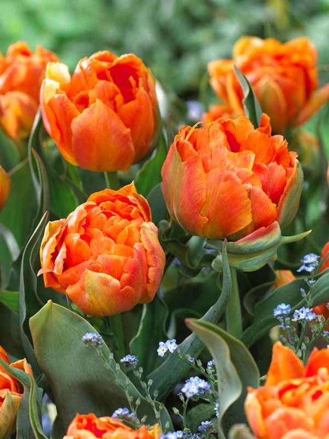Tulip Orca