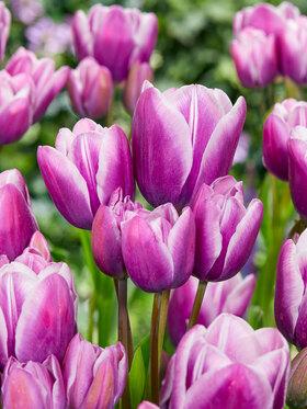 Photo of Tulip Purple Elegance